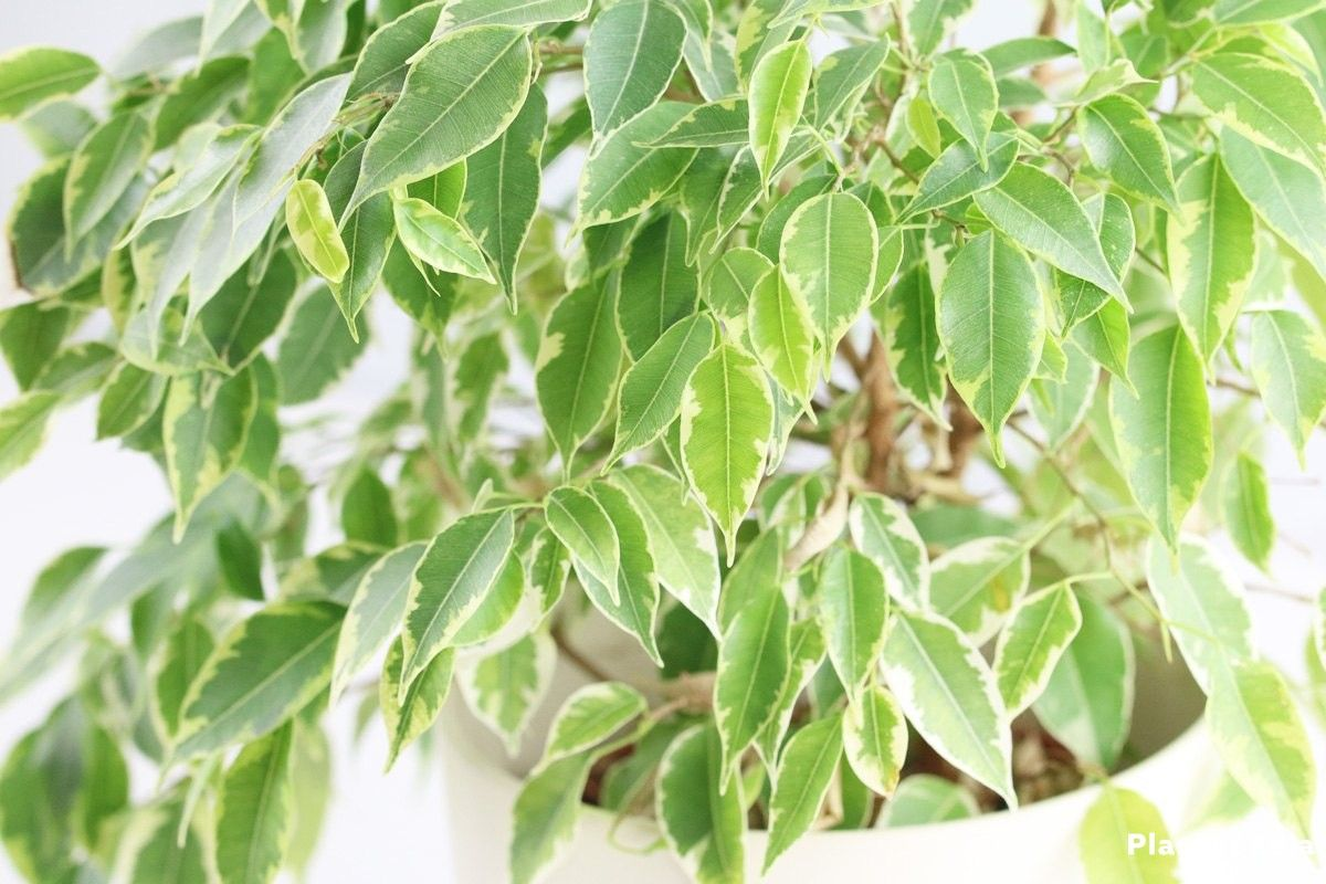 Ficus Pflege Ficus Benjamina Also Suitable For The Balcony Ogród Ficus Fig