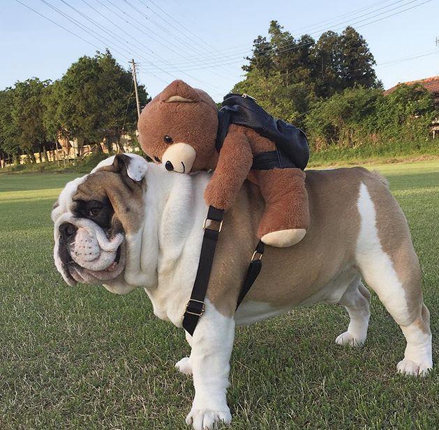 Pin By Cheryl Chesser On Cute Photos Bulldog Puppies Cute Dogs