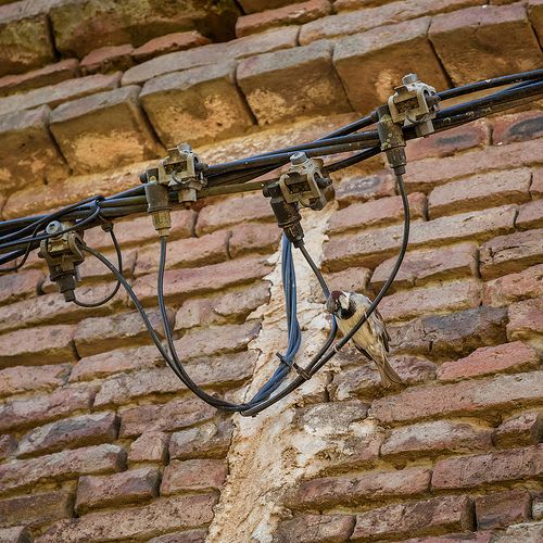 pájaro electricista