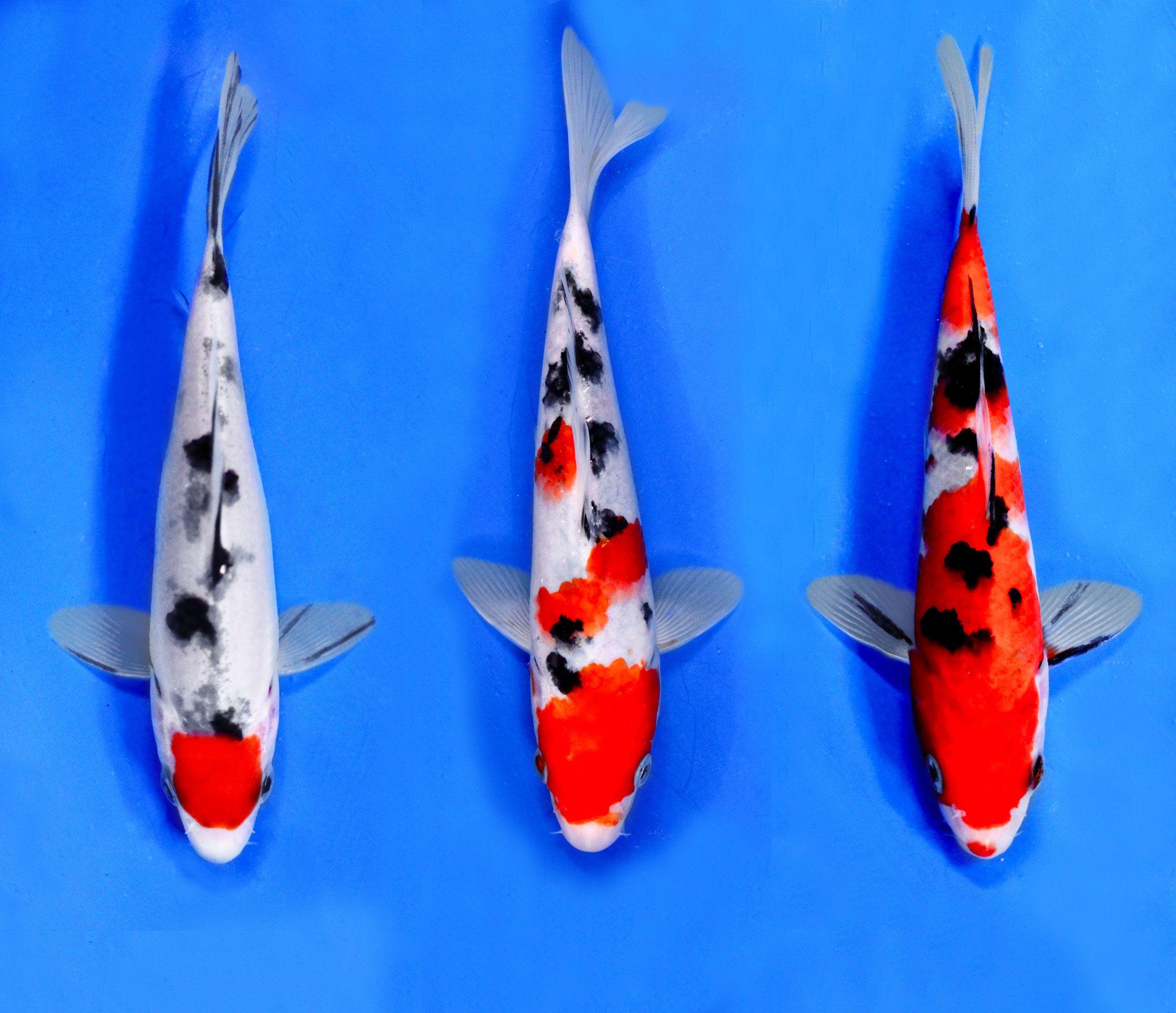 Sanke selection blue ridge fish hatchery the for Blue ridge fish hatchery