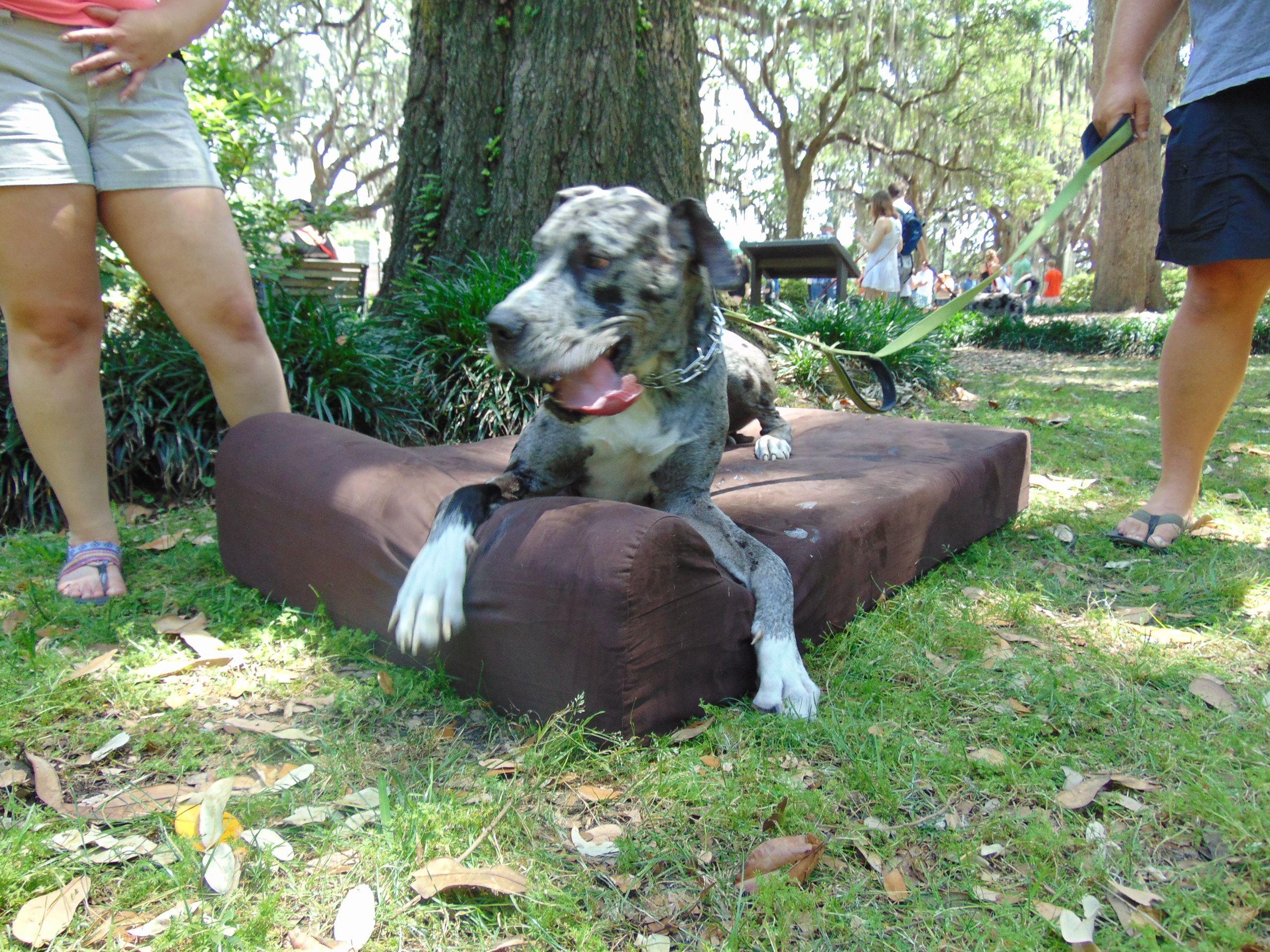 Great Dane Dog Bed Savannah, GA Dog Carnival GoliathPets