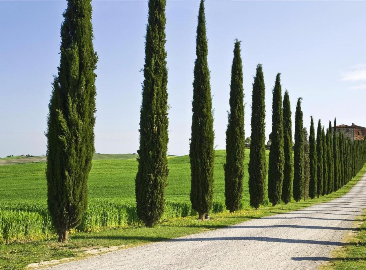 Кипарис дерево фото где растет