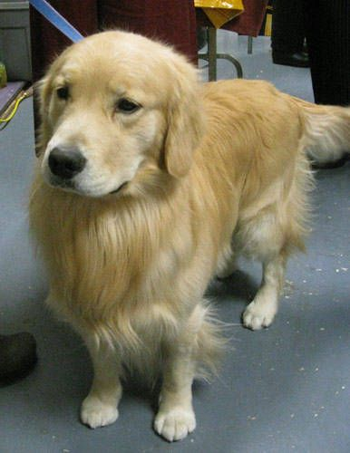 Beautiful Dog Westminster Dog Show Golden Dog Dog Show