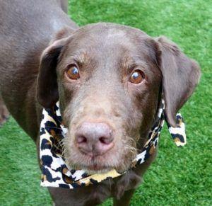 Kokoa A1107633 American Shorthair Cat Labrador Dog Adoption