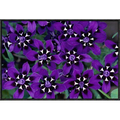 East Urban Home 'Painted Petal Spring Flower, Nieuwoudtville Reserve, South Africa' Framed Photographic Print Size: 16