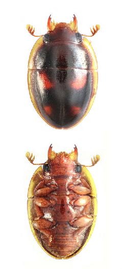 Parametopia sp.