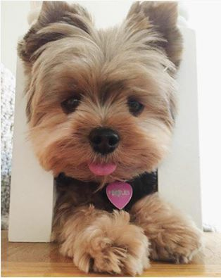 That Moment You Realize Nothing Will Ever Change Yorkies