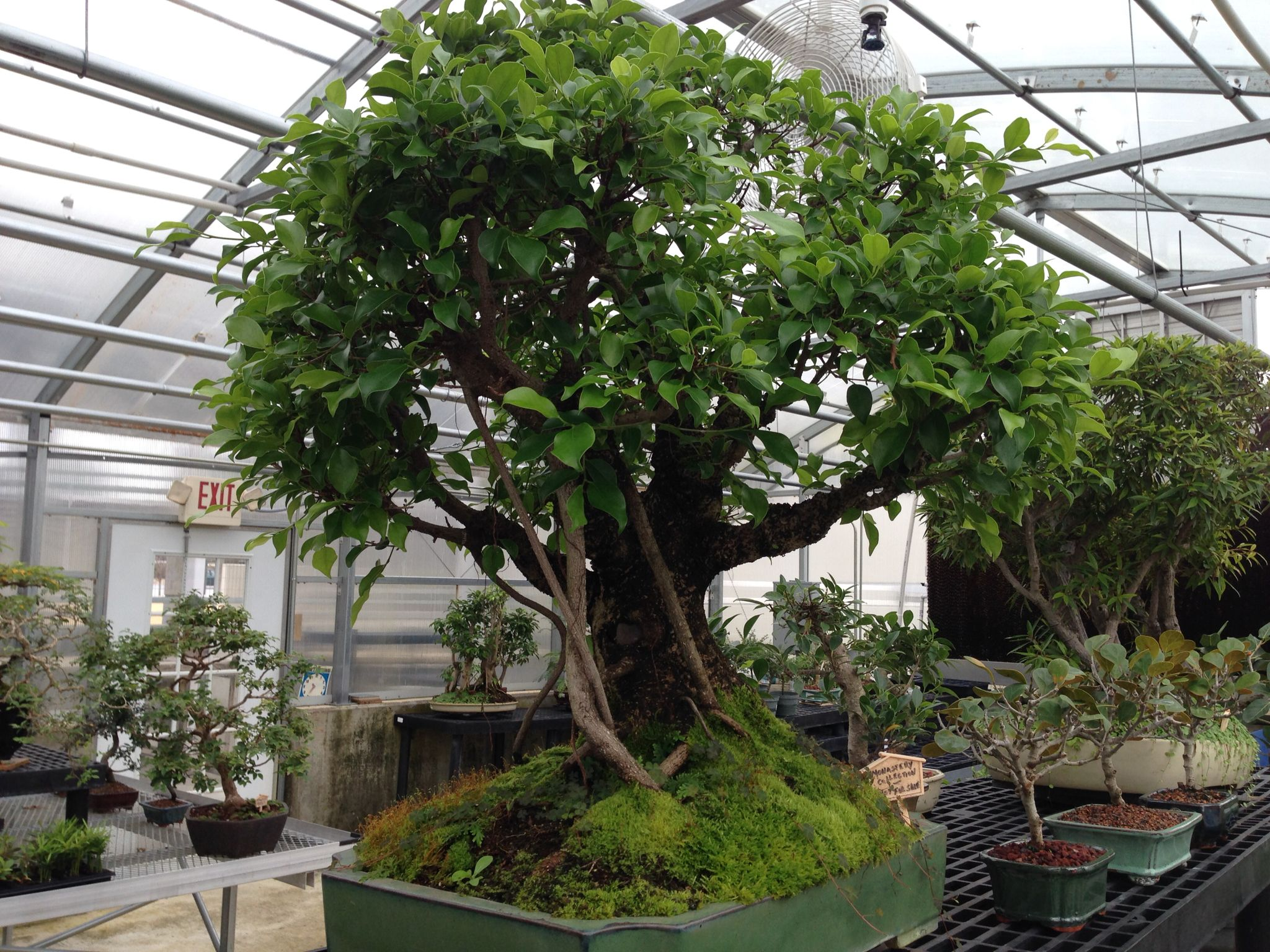 Ficus bonsai available at the monastery of the holy spirit