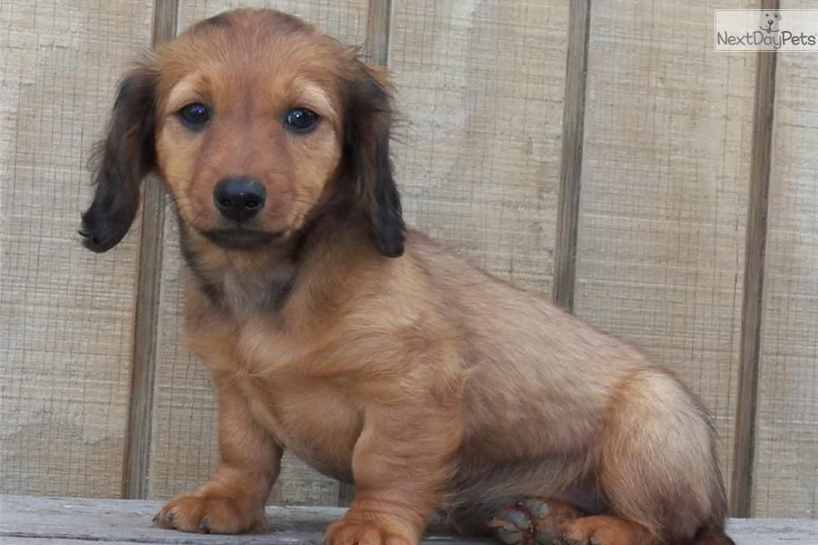 Meet Bunny A Cute Dachshund Mini Puppy For Sale For 495 Akc