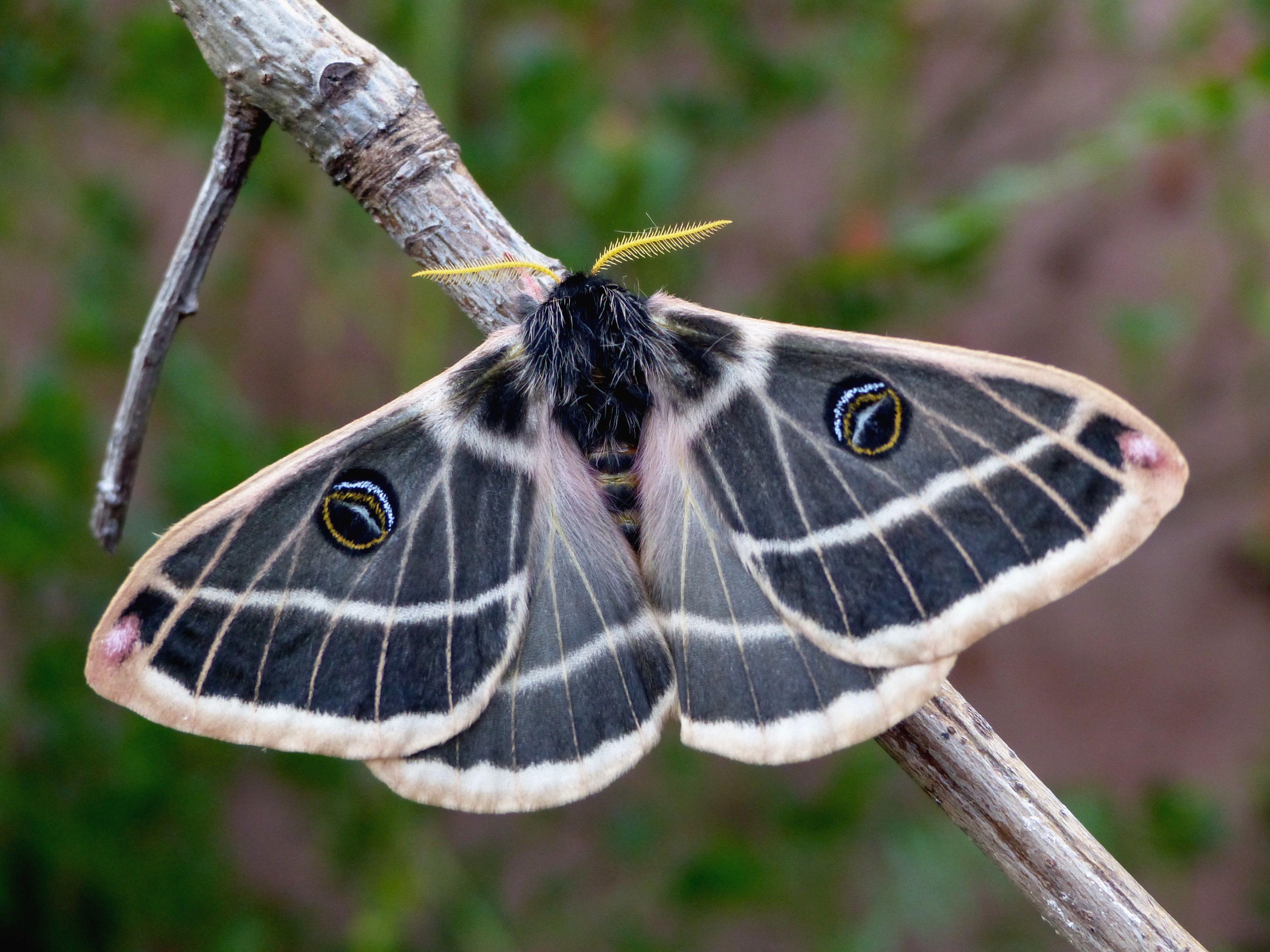 Agapema Homogena Gallery Actias Schmetterling Insekten