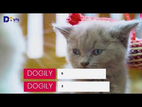 British Shorthairs Cat Lilac Cute 2 Months For Sales In Dogily Petshop In 2020 Pet Shop Cats Purebred Cats