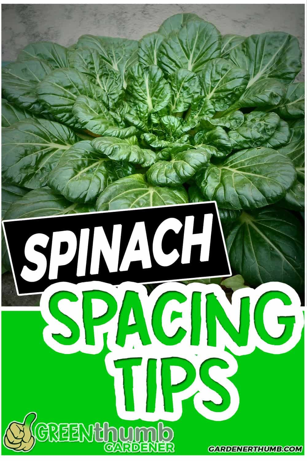 Spinach Plant Spacing 4 Fundamental Tips For Beginners Growing Spinach Planting Spinach Organic Vegetable Garden