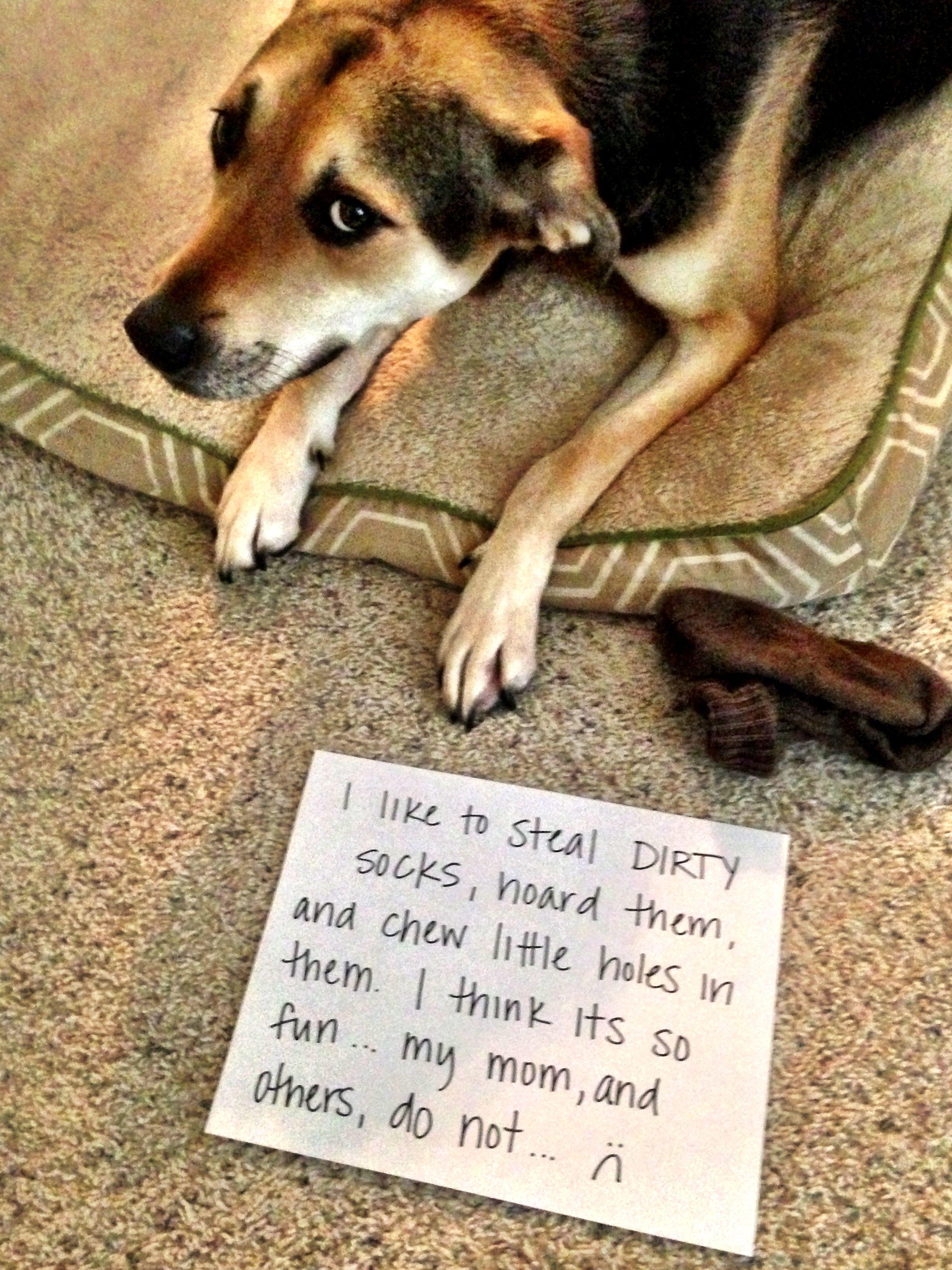 Notorious Sock Thief Dog Shaming Animal Shaming Dog Shaming Photos