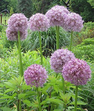 Allium Giganteum Flowers Perennials Bonsai Flower Spring Flowering Bulbs