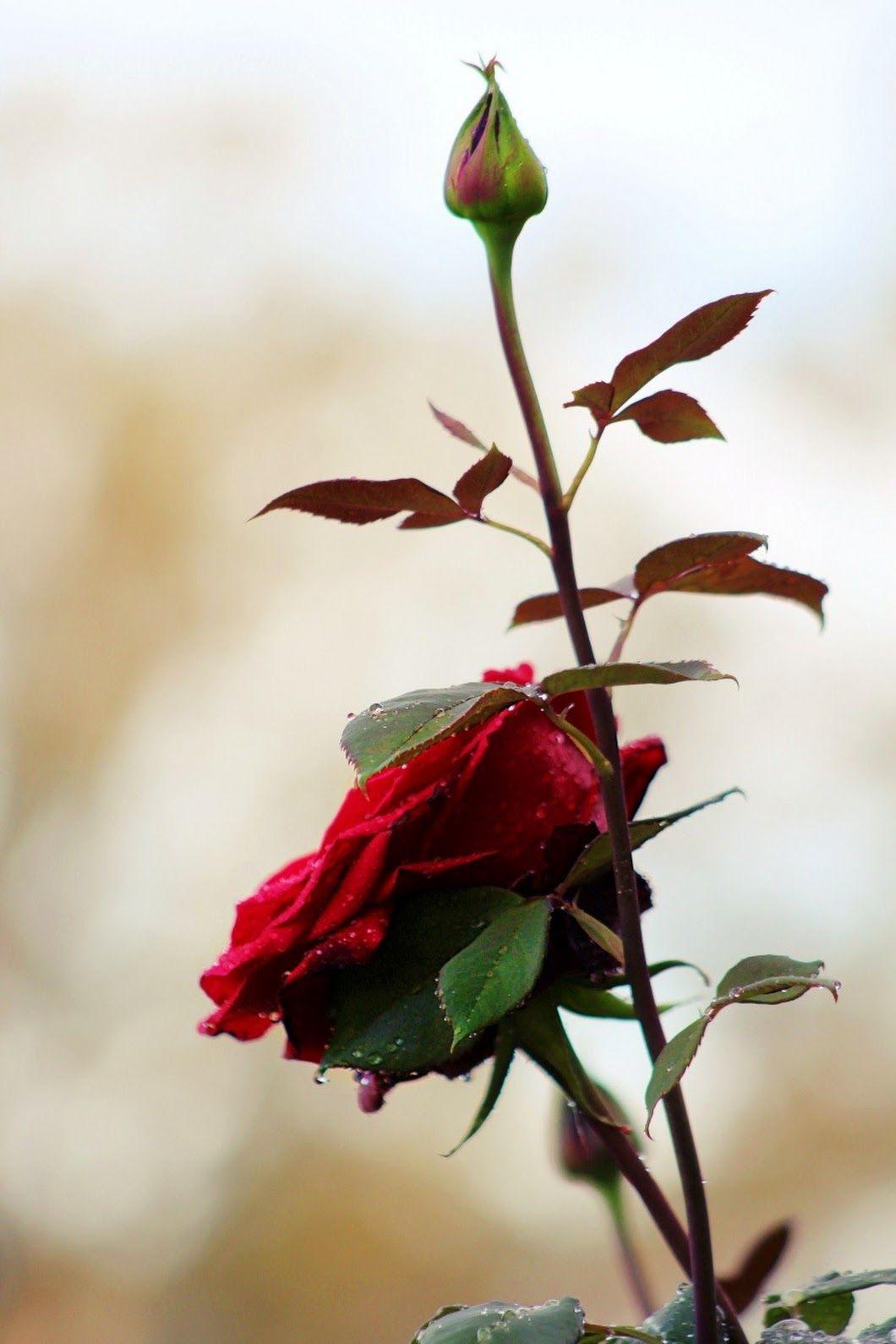 Sirlei Holmstrom Con Imagenes Rosas Flores Rosadas Flores