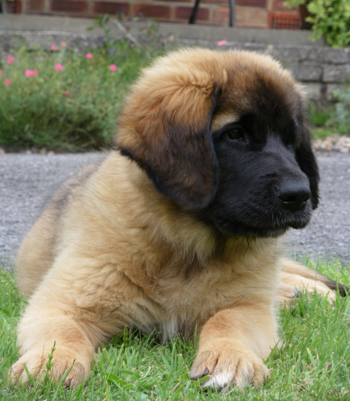 Afbeelding Van Http Www Pets4homes Co Uk Images Classifieds 2013 07 03 350410 Large Gorgeous Litter Of Leonberger Leonberger Puppy Leonberger Dog Leonberger