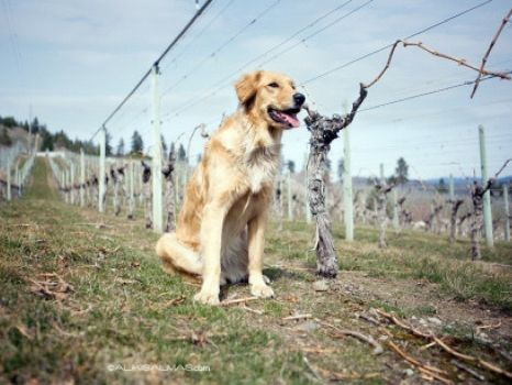 Vineyard Dogs Of The Okanagan Dogs Funny Dog Images Funny Dog