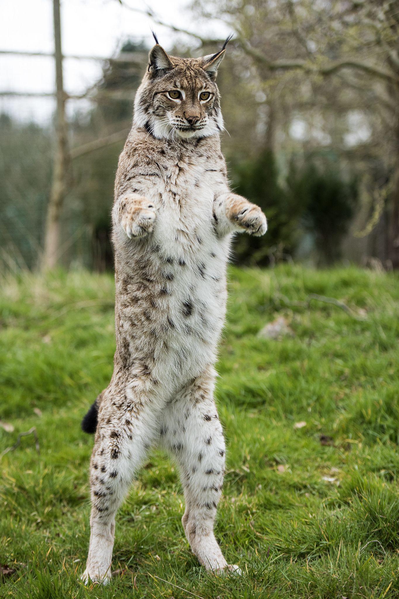 Dancing Queen | Dancing queen, Wild cats, Feline