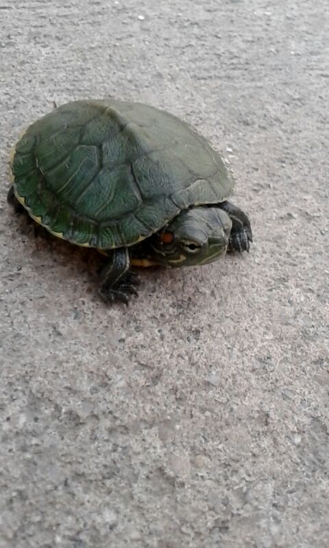 How To Take Care Of Baby Water Turtles Water Turtle Turtle Turtle Habitat