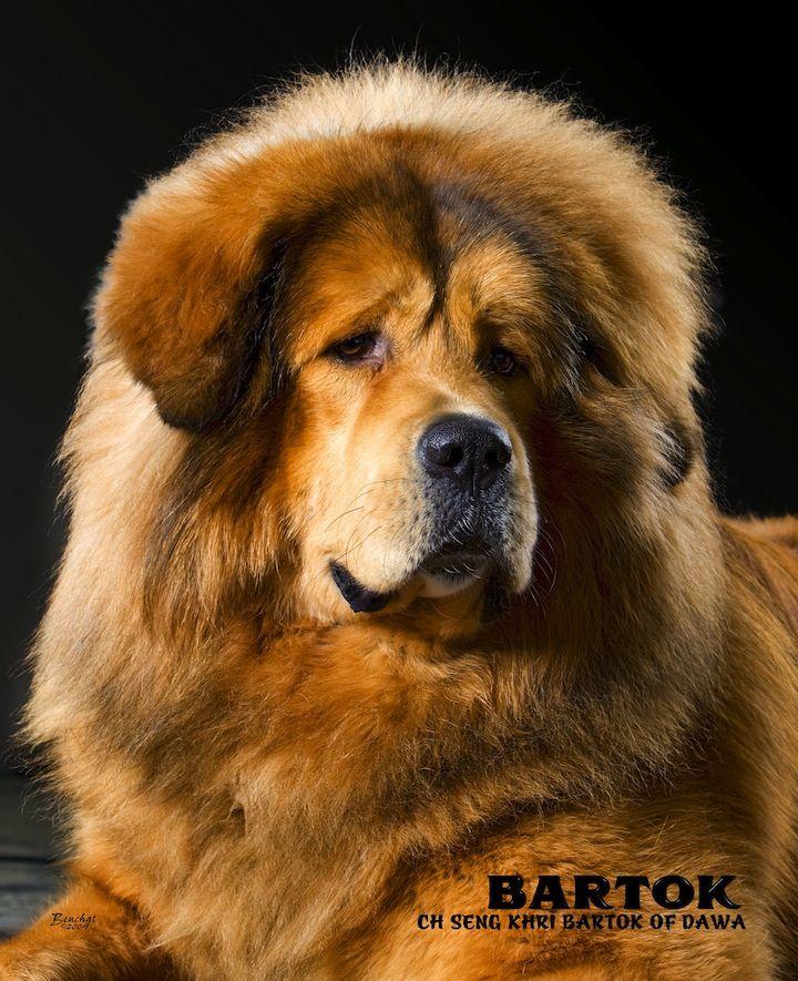 Bartok Tibetan Mastiff Dawa Tm Com Tibetan Mastiff