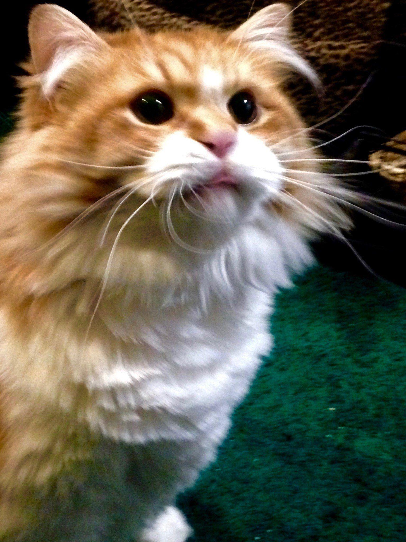 Pumpkin Spice Persian Cat Cat Adoption Cat Online