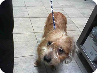 Border Terrier Mix Dog For Adoption In Grand Prairie Texas