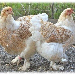Buff Laced Brahma, Lancaster Fancy Fowl