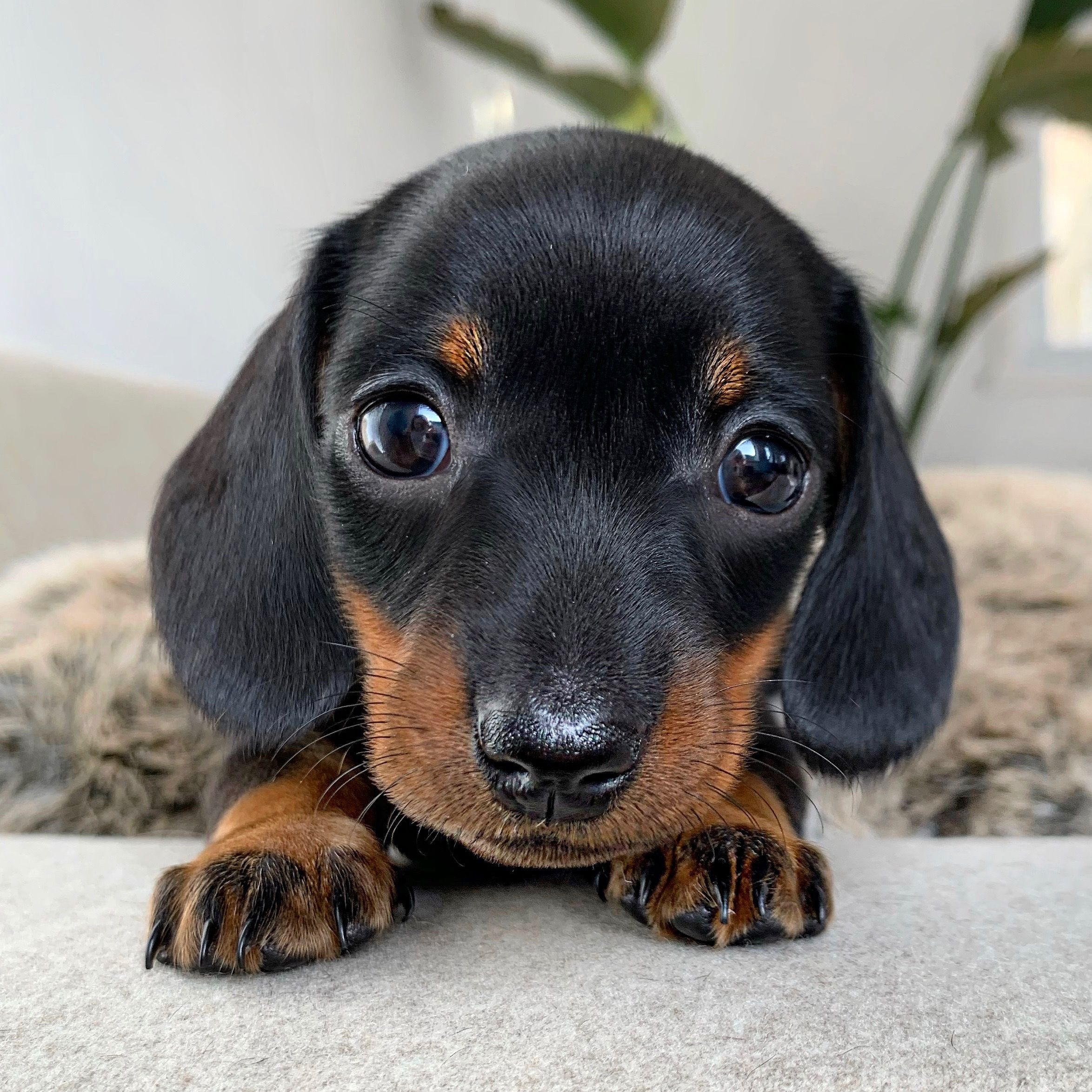 Playful Dachshund Puppies Youtube In 2020 Puppies Baby Dogs Puppy Dog Eyes