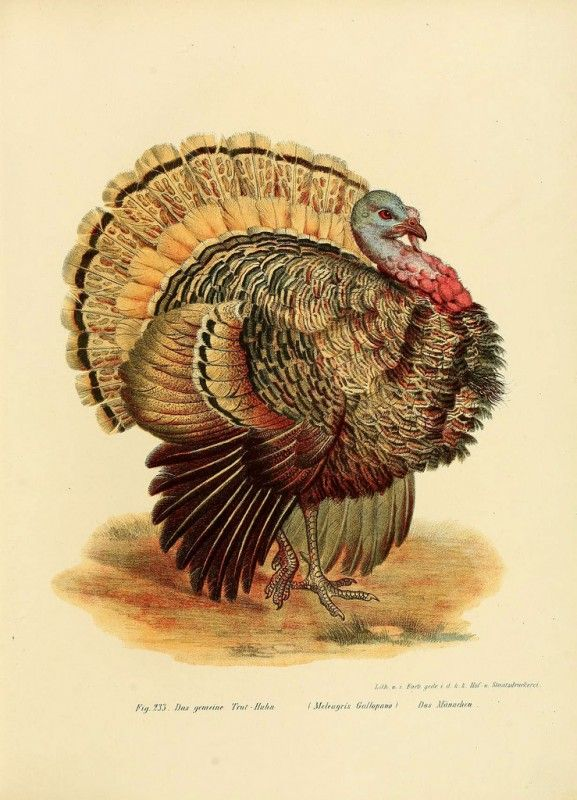 Free Natural History Images For Fall Happy Thanksgiving Vintage Thanksgiving Thanksgiving Plates