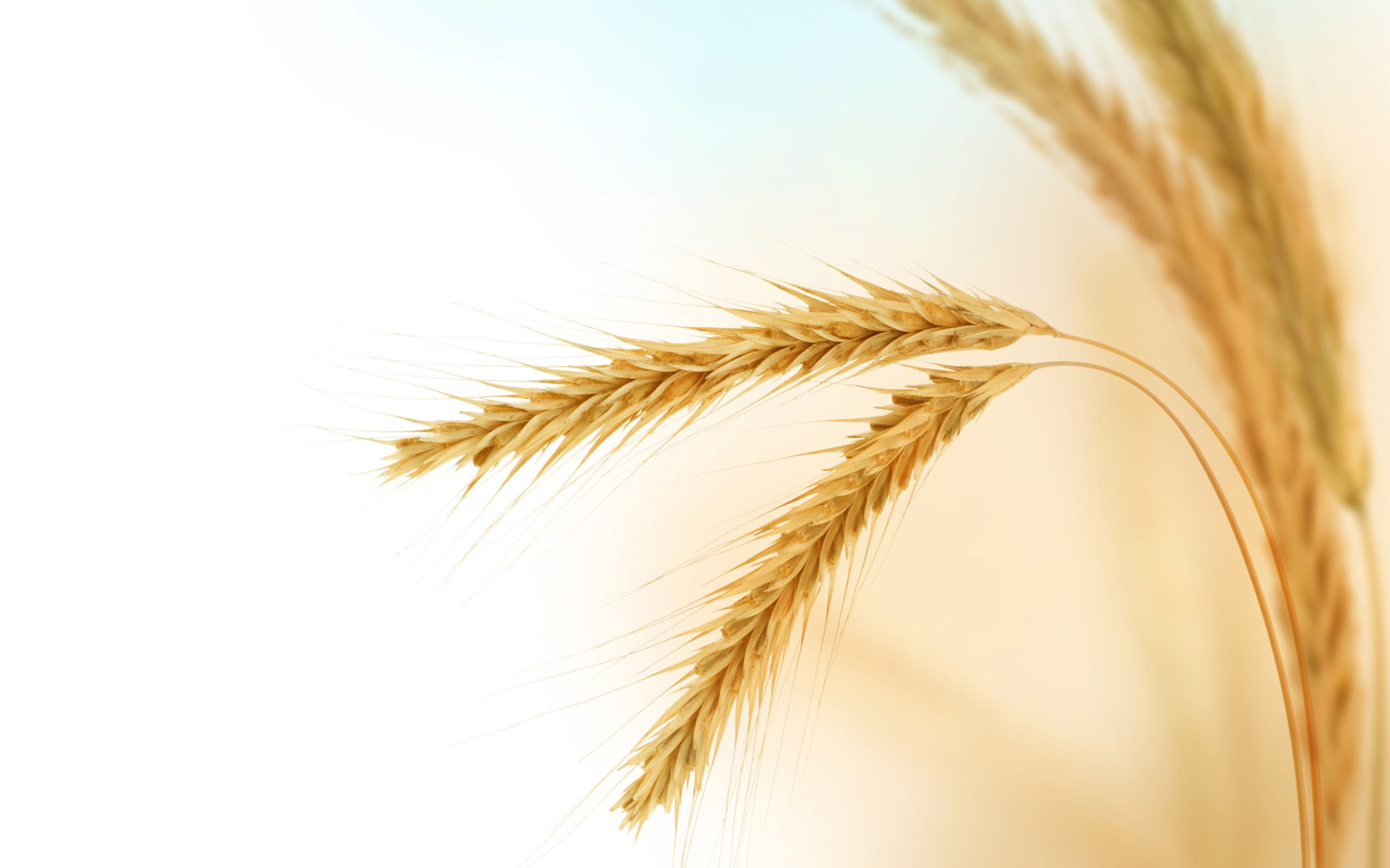 Wallpaper Download 5120x3200 Wonderful Golden Ear Of Wheat Macro Beautiful Macro Wallpapers Hd Wallpaper Downlo Wheat Wallpaper Wheat Pictures Wheat Fields