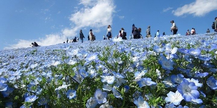 Hitachi Seaside Park, North Kanto, Japan