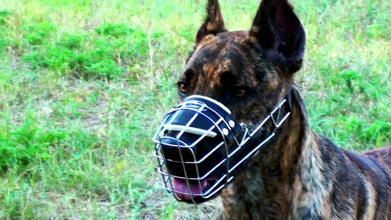 Great Dane And Other Dogs Wearing Wire Cage Dog Muzzle With