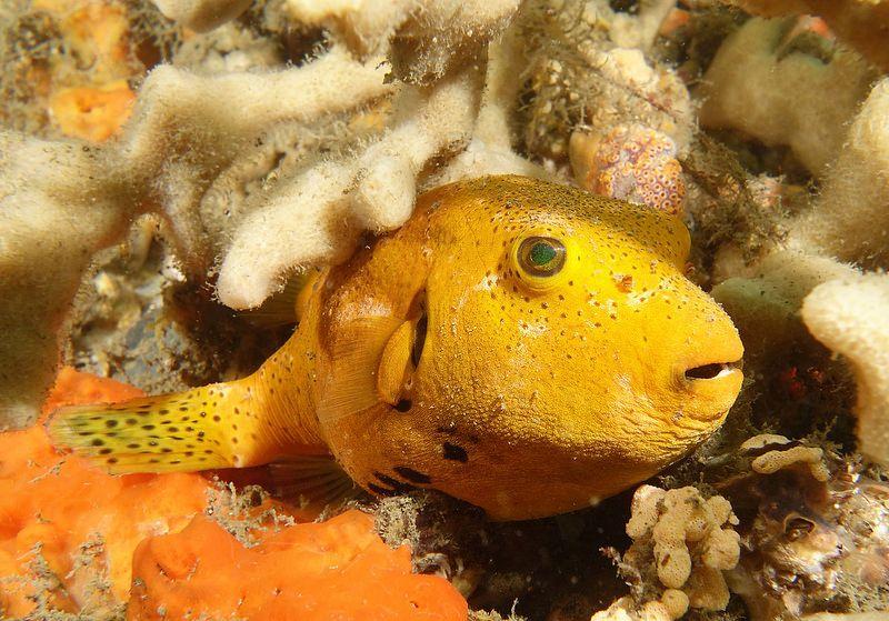 Starry Pufferfish Arothron Stellatus Marineexplorer Puffer Fish Fish Pet Yellow Fish