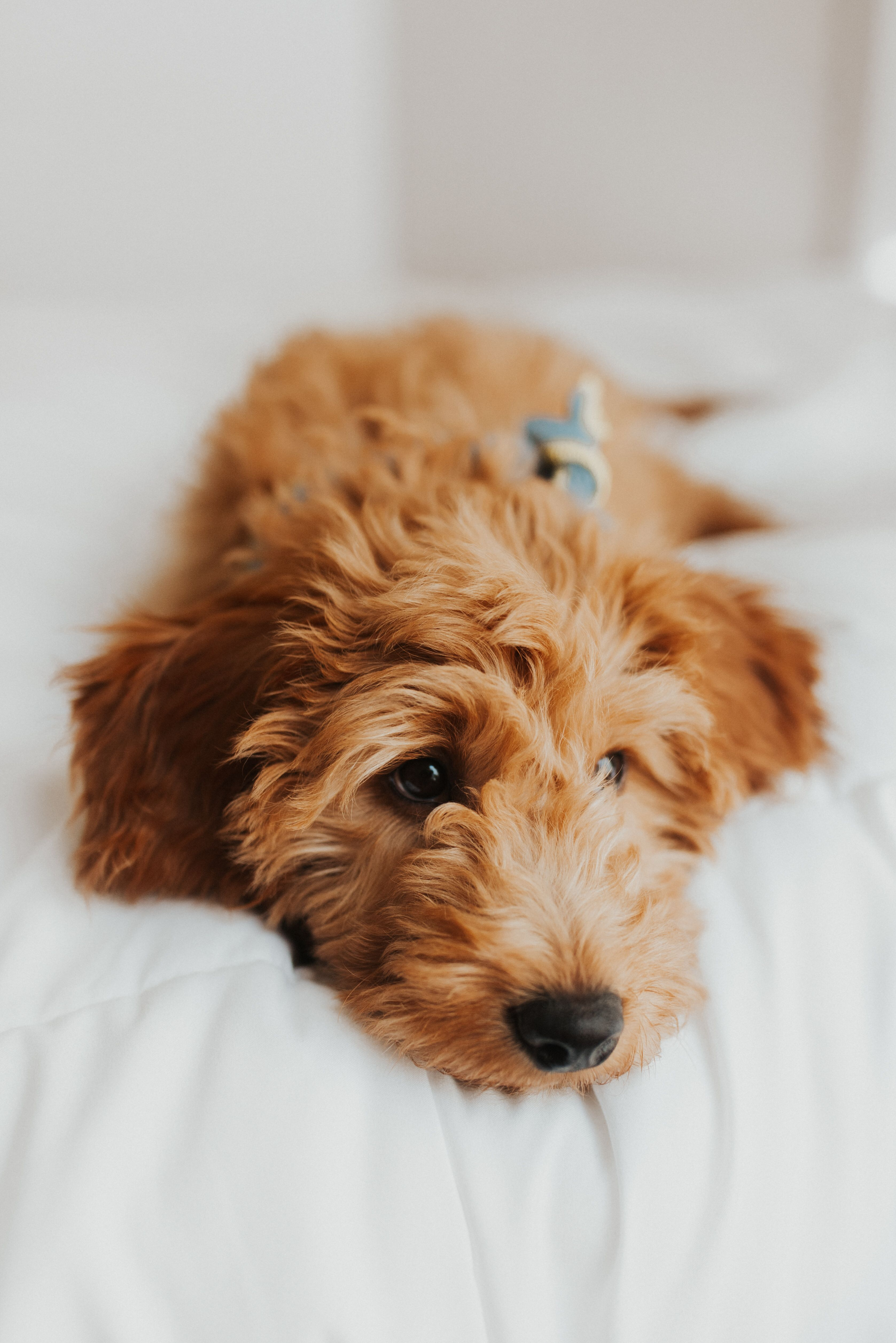 F1 goldendoodle mini goldendoodle puppy cute puppies