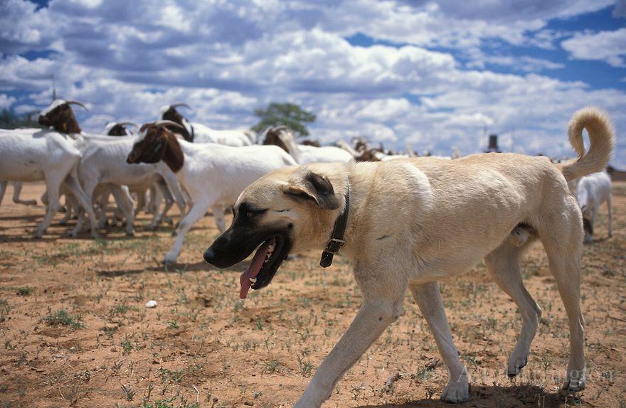 Anatolian Shepherd Kangal Dog Anatolian Shepherd Dog Livestock