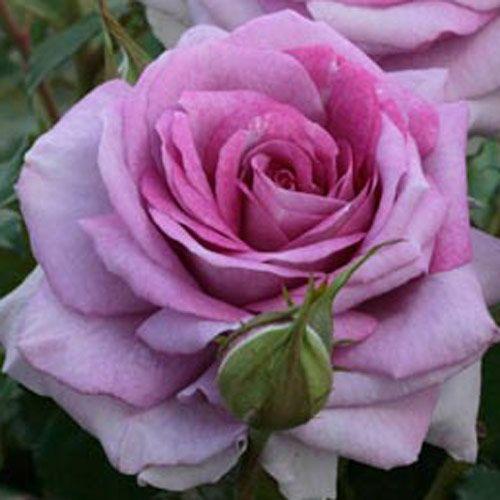 Downton Abbey Violet's Pride ~ Floribunda Rose - old english rose...want for flower bed