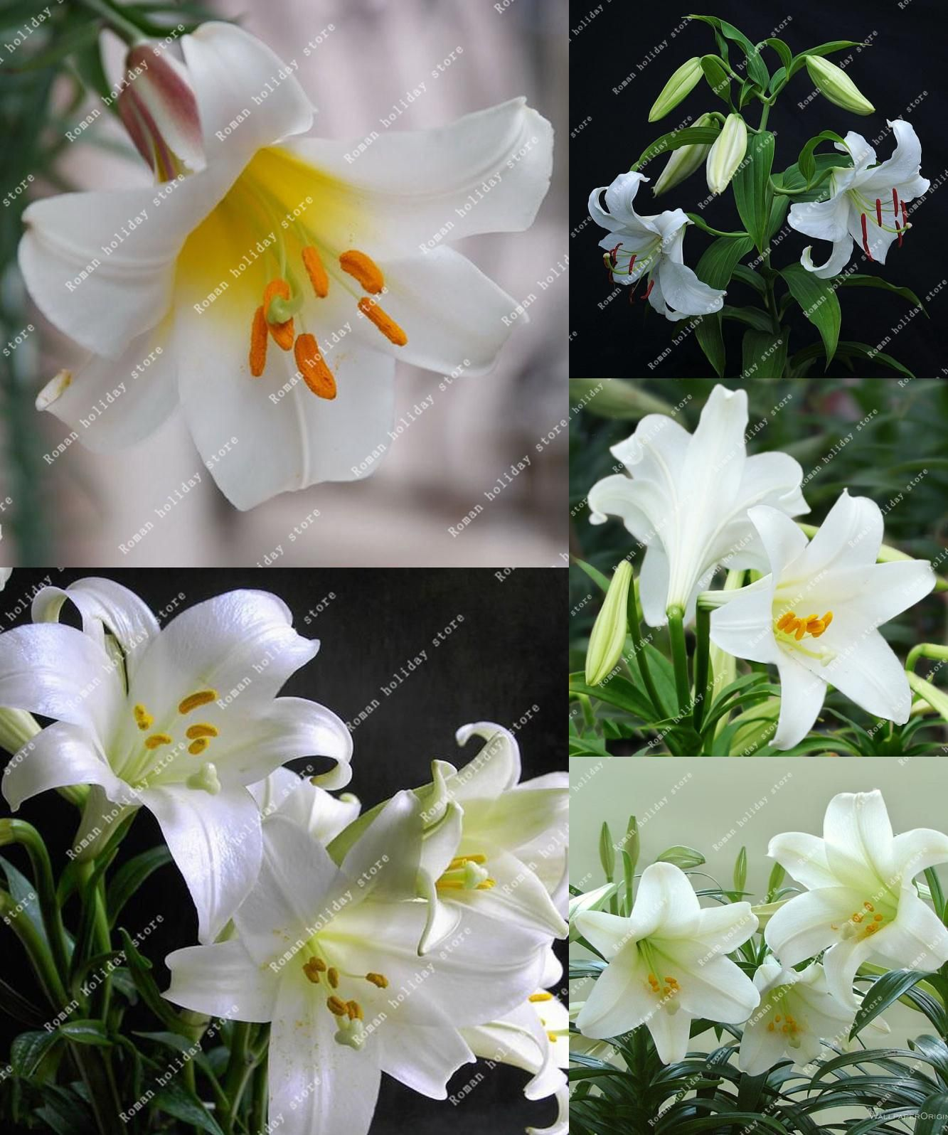 Visit To Buy 100 Pcs Perfume Lily Pure White Lily Plant Seeds