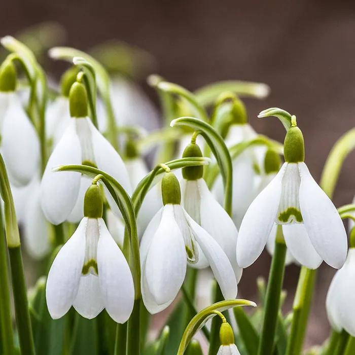 Snowdrops Bulb Flowers Planting Flowers Fall Plants