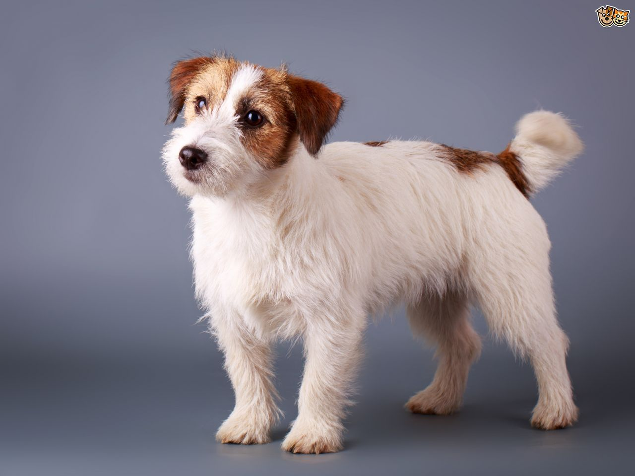 Five universal personality traits of the jack russell terrier five universal personality traits of the jack russell terrier five universal personality traits of the nvjuhfo Images