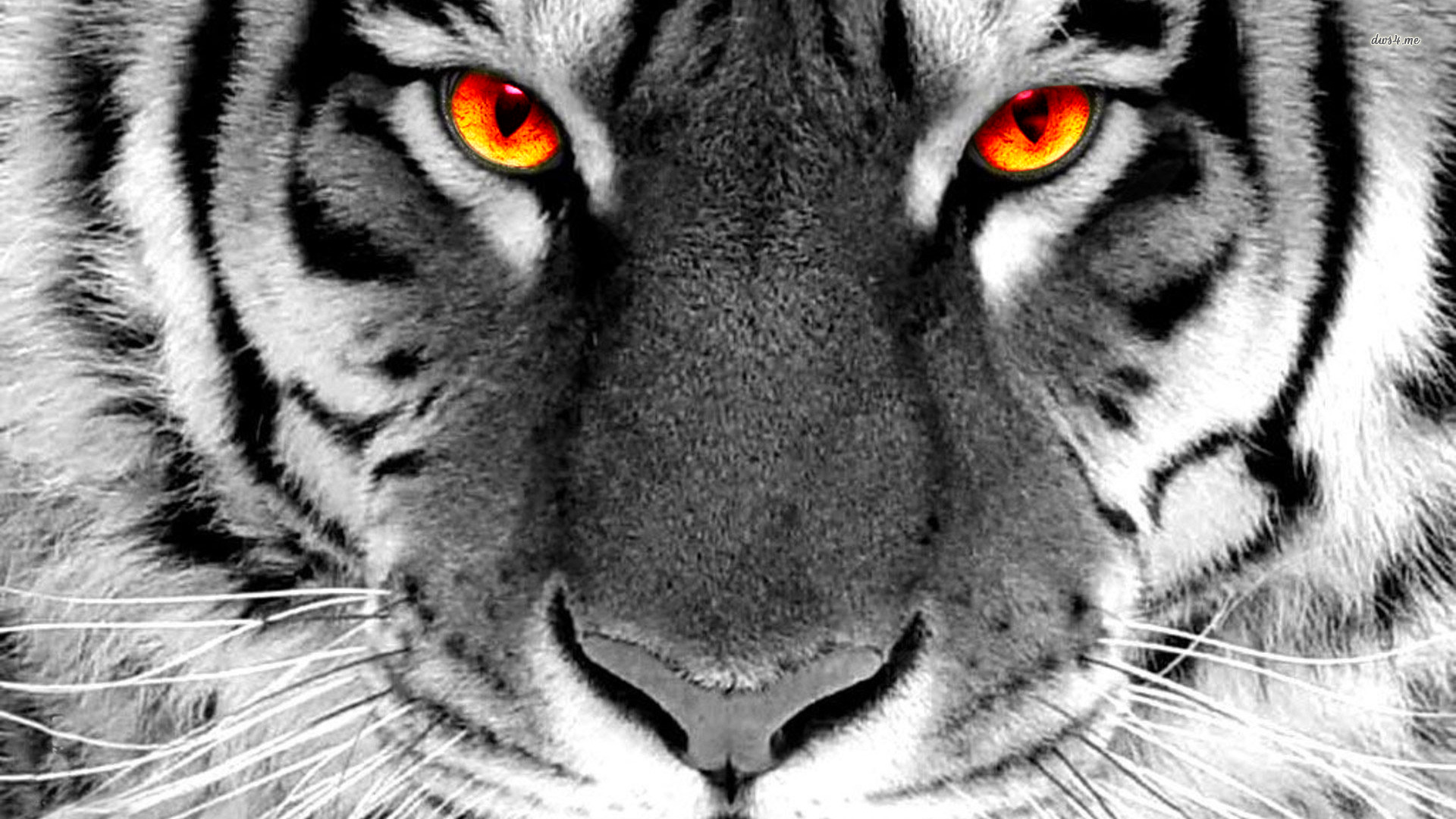 White Tiger With Red Eyes Tiger Wallpaper Tiger Images Tiger