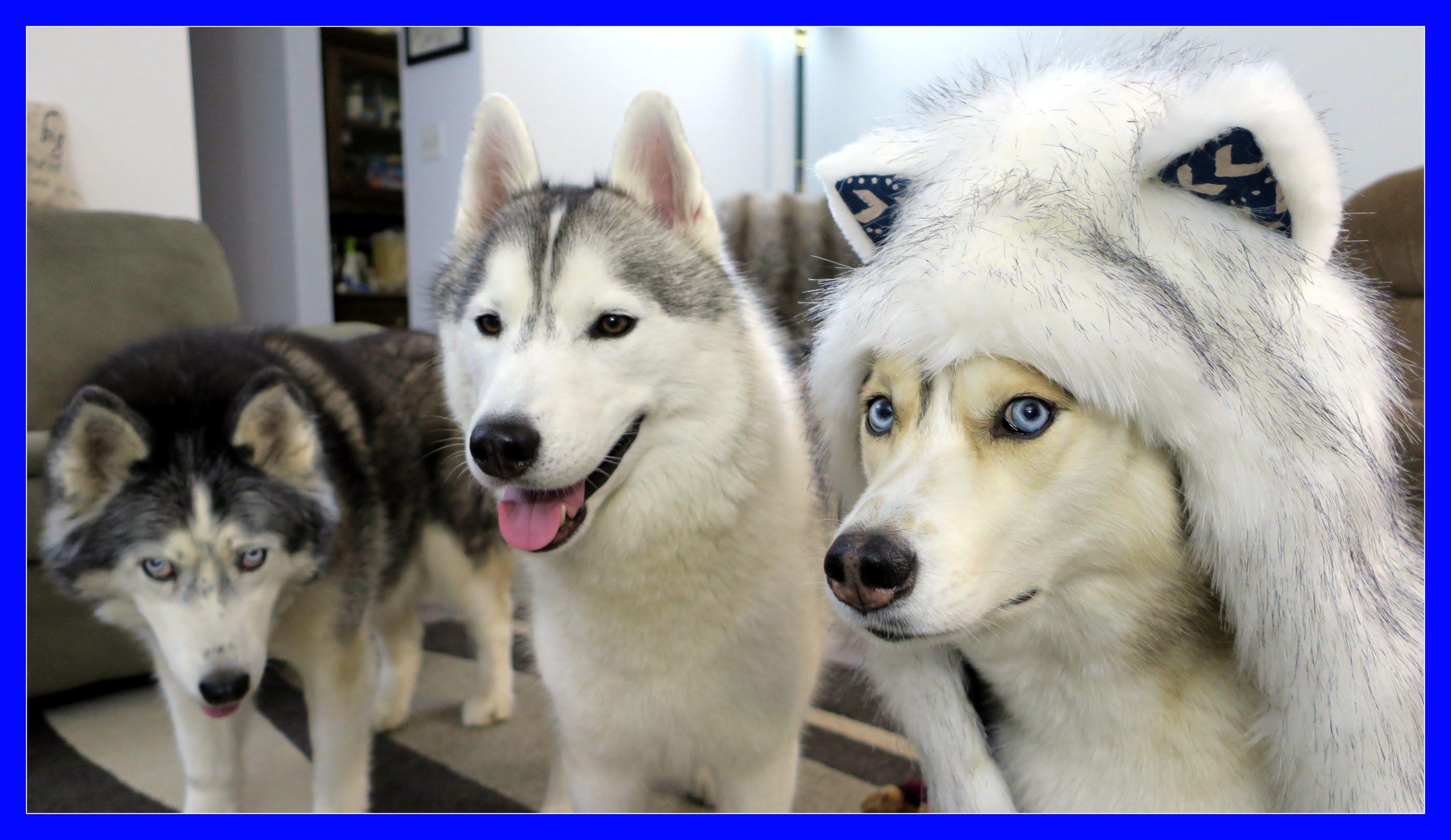 Huskies Howling For 250k Spirithoods Giveaway Siberian Husky