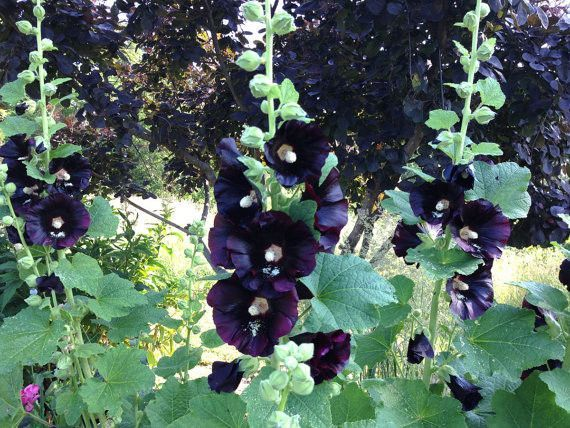 Alcea rosea nigra is commonly known as Black Hollyhock. Hollyhocks are an old fashioned favorite and a must for any cottage type garden. Black Hollyhocks are a biennial for most gardeners. Plants may