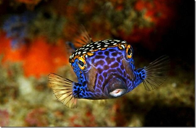 Box fish by Anton Akhmatov thumb Nature At Its Best !