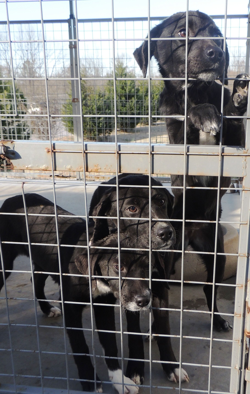 Borador Dog For Adoption In Chester Sc Adn 417804 On Puppyfinder Com Gender Female Age Young Dog Adoption Dogs Animals