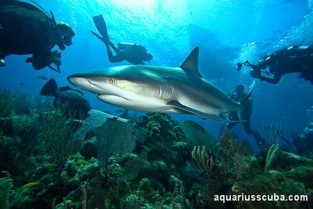 Diving With Sharks In Jardines De La Reina Cuba Seas Oceans