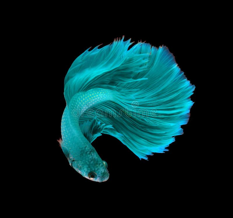 Pin On Fish Aquatic Ideas Betta fish live wallpaper