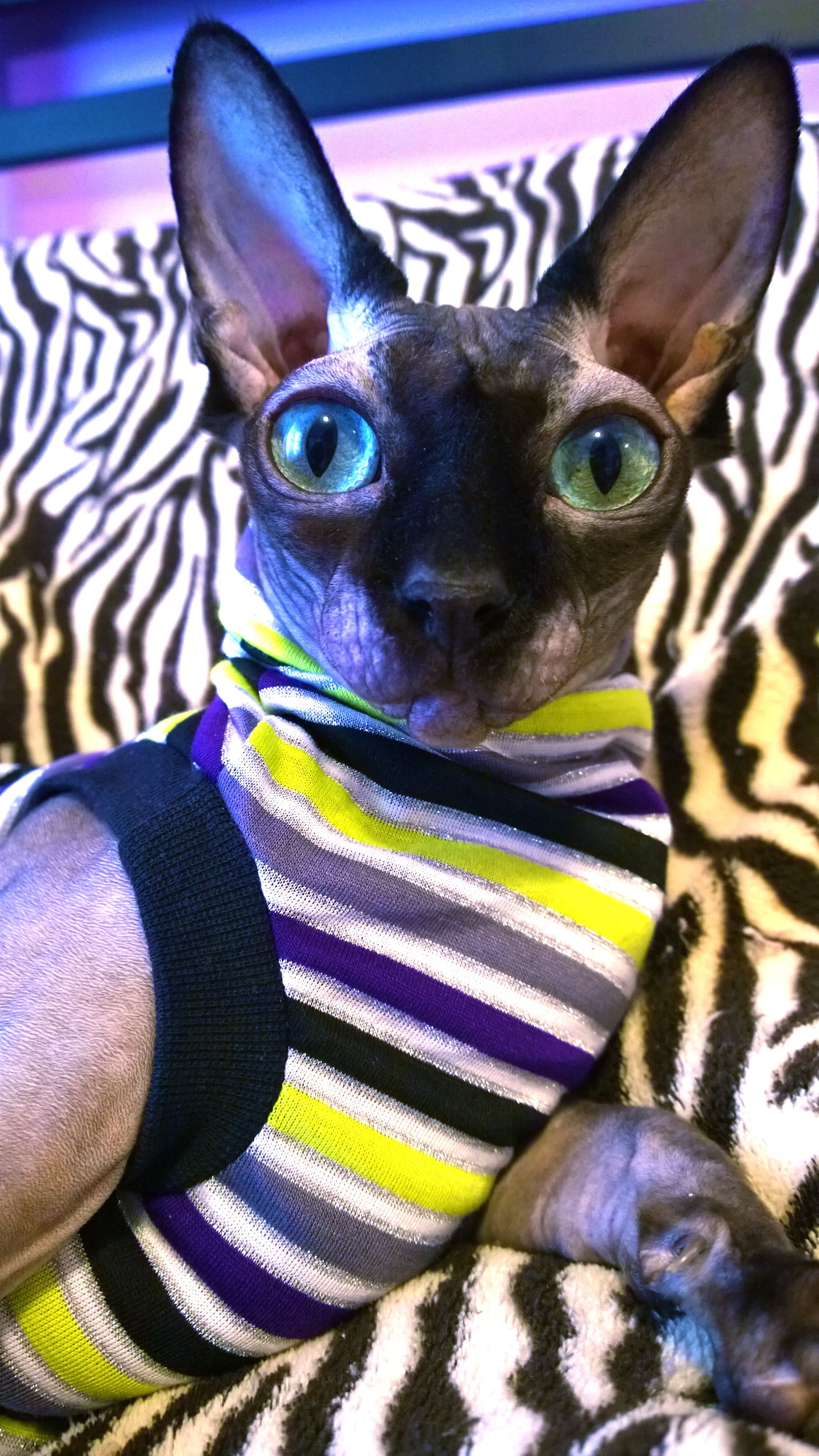 Peppermint Punk Berry Rare Cats Cute Hairless Cat Sphynx Cat Clothes