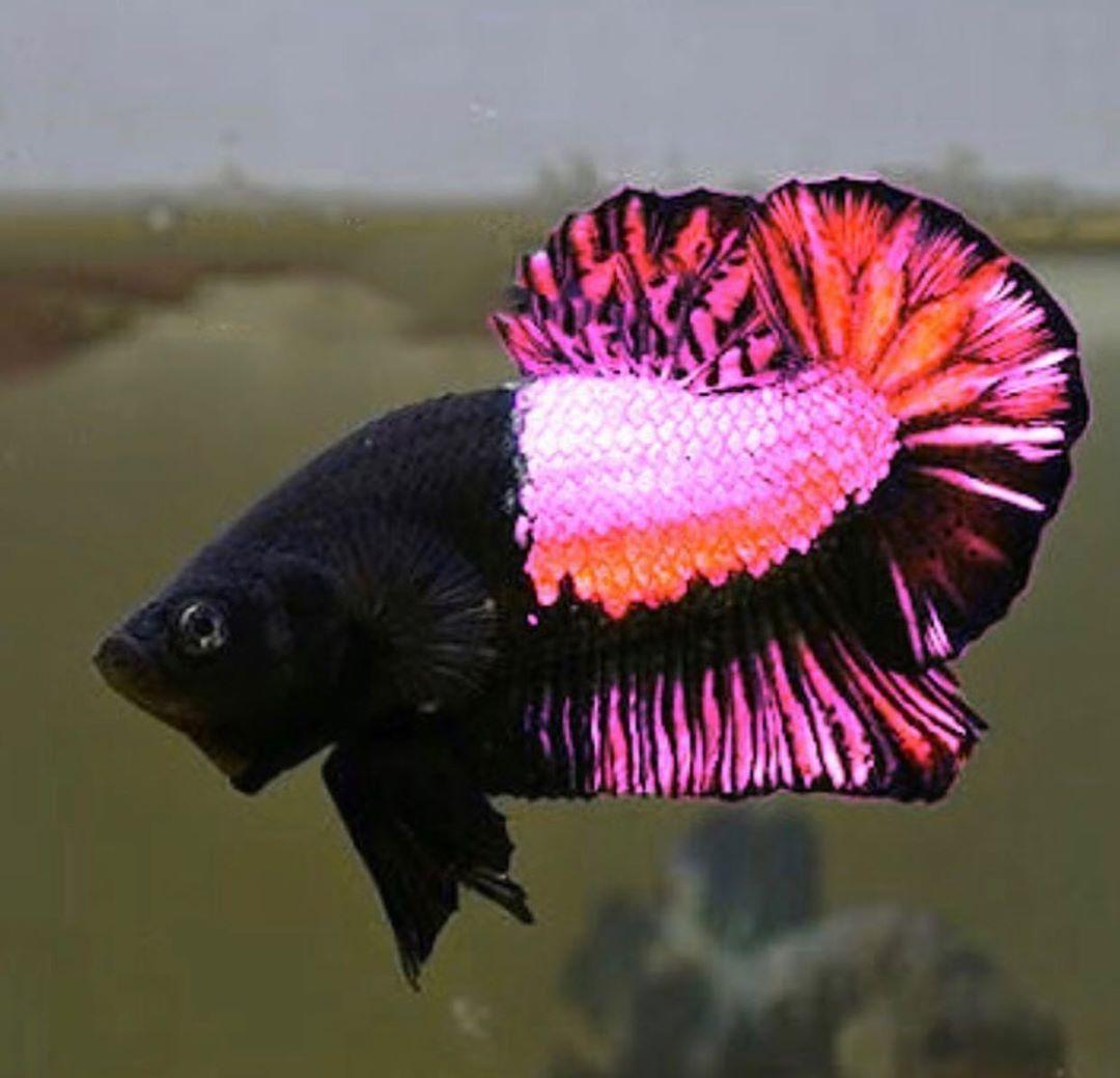 The Black Pink Plakat Betta Fish Betta Fish Types Betta Fish Pet Fish