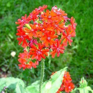 Lychnis Seeds Maltese Cross Lychnis Chalcedonica Flower Seed
