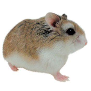 Roborovski Hamster Hamsters For Sale Roborovski Hamster Robo